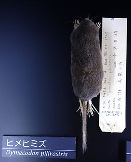 Dymecodon pilirostris - National Museum of Nature and Science, Tokyo - DSC06749.JPG