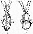 EB1911 Caryophyllaceae Fig. 3. Pistil of Cerastium hirsutum.jpg