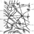EB1911 Connective Tissues - Fig.1.png