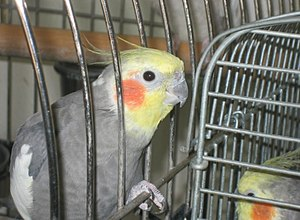 Cockatiel (aviculture) - A pet cockatiel, Early, offering his head to be petted. Note, the cage shown is dangerous as the bird should not be able to fit its head through the bars.