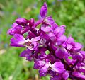 Early Purple Orchid. Orchis mascula - Flickr - gailhampshire.jpg