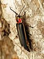 Eastern Firefly - Flickr - treegrow.jpg