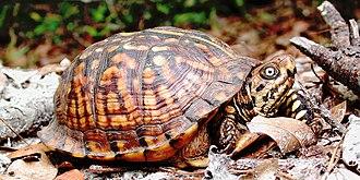 Eastern box turtle - Eastern box turtle in Florida