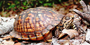 Eastern box turtle in florida.JPG