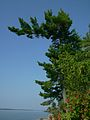 Eastern white pine (Jones Landing).JPG