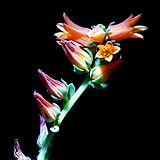 Echeveria elegans20200315 16620.jpg