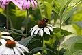 Echinacea purpurea Finale White 1zz.jpg