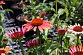 Echinacea x Big Sky Sundown 9zz.jpg
