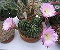 Echinopsis eyriesii - JBM.jpg