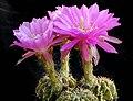 Echinopsis rojasii 1a.MW.jpg