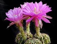 Echinopsis rojasii 1a.MW