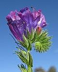 Echium plantagineum flowerhead5 (13942625454).jpg