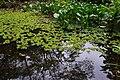 Eco pond in Gaofeng Botanical Garden 高峰植物園水生池 - panoramio (1).jpg