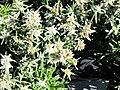 Edelweiss in the market of Samoens 2.jpg