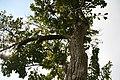 Ehretia acuminata 1zz.jpg