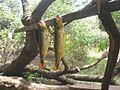 El Dorado pez del Río Aguapey.jpg