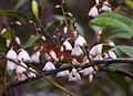Elaeocarpus reticulatus flowers 2.jpg