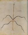 Elaphoskordon 116v Dioscoride Vienne.png