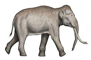 Elephantidae - 70 px