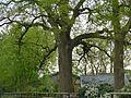 Ellerhoop, Naturdenkmal 44-01, 2 Stieleichen, Bild 03.jpg