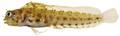Emblemaria pandionis - pone.0010676.g157.png