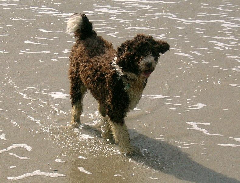 Raza perro de agua español