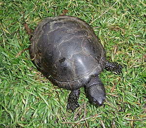 Amphibia in the 10th edition of Systema Naturae - The European pond turtle was named Testudo orbicularis and Testudo lutaria in 1758.