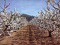 En el valle de la Sierra de Montsiá. Los cerezos en flor.jpg