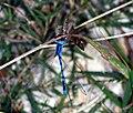 Enallagma civile eating moth.jpg