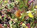 Endangered myrtle silverspot butterfly.jpg