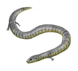 Caecilian - Eocaecilia, the earliest known caecilian