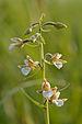 Epipactis palustris - soo-neiuvaip.jpg