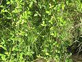 Equisetum bogotense G 3460.jpg