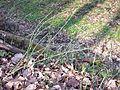 Equisetum hyemale subsp. hyemale sl3.jpg