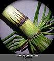 Equisetum telmateia (subsp. telmateia) sl1.jpg