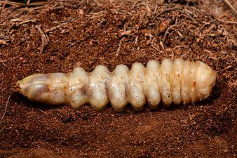Ergates faber larva (31569622150).jpg