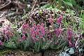 Erica cinerea IMG 4876 Purpurlyng kungälv bergfeltska.jpg
