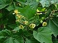 Erinocarpus nimmonii (2912847572).jpg