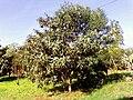 Eriobotrya japonica - San Ignacio Mini, Misiones, Argentine 2.jpg