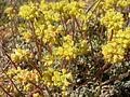 Eriogonum caespitosum (5006018315).jpg