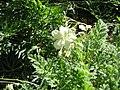 Erodium chrysanthum003.jpg