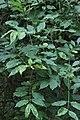 Erysiphe euonymi on Euonymus europaeus (44116590521).jpg