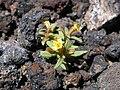 Erythranthe suksdorfii (4381562598).jpg