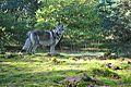 Eska der Tschechoslowakische Wolfhund und der Herbst 7.jpg