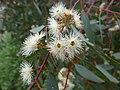 Eucalyptus camaldulensis flowers.jpg