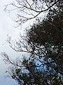 Eucalyptus globulus (Blue Gum) Crater Rd., Maui May 20, 2016 (27048675442).jpg