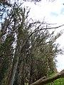 Eucalyptus globulus (Blue Gum) Crater Rd., Maui May 20, 2016 (27048680562).jpg