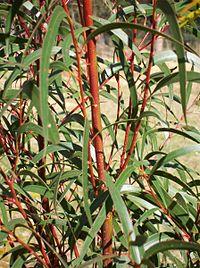 Eucalyptus multicaulis Batemans Bay