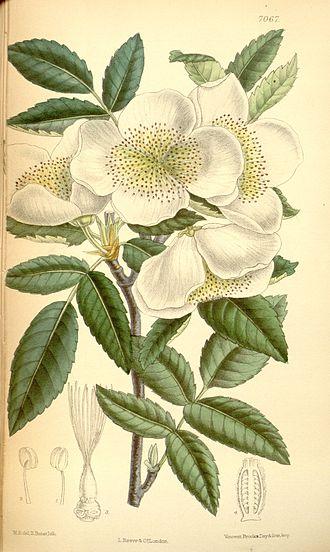 Eucryphia - Eucryphia cordifolia