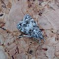 Eudonia truncicolella - Flickr - gailhampshire (1).jpg
